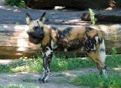 Decreto que permite cazar a perros bravos fue publicado en el Diario Oficial