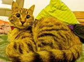 Tres mitos sobre los gatos son descartados