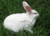 Cómo afectan los órganos reproductivos a los conejos