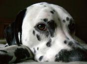 Perros grandes viven menos que los que perros pequeños
