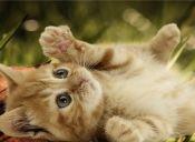 Desmitifican algunas creencias sobre el lenguaje corporal de los gatos