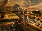 Tortugas acuáticas domésticas y sus cuidados