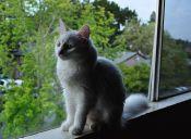 Perfiles: Gato Angora Turco