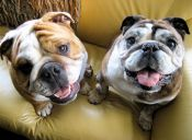 5 razas de perro aptas para vivir en departamento