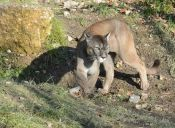 Inesperada visita felina sorprende a familia en Lo Curro