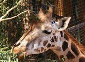 """Marius"": La Jirafa que sacrificaron por culpa de sus genes"