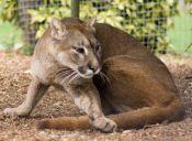 Puma trotamundos nuevamente hace noticia: ¡Escapó de su refugio!