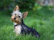 El diminuto y simpático Yorkshire Terrier