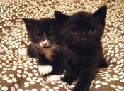 Por qué es mejor adoptar a dos gatitos en vez de uno