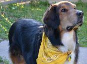 ¿Qué significa el Lazo Amarillo en la correa de un perrito?