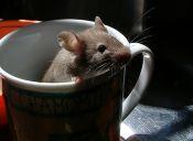 ¿Cómo sería tener ratones como mascotas?