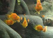 Los beneficios de tener peces como mascotas