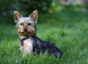 ¿Cuándo cortar el pelo a un perro según su raza?