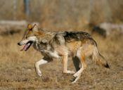 Ley de Caza: Ministerio de Agricultura suspendió decreto que permitía cazar perros salvajes