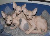 Perfiles: Gato Sphnyx o Gato Esfinge
