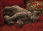 Perfiles: Gato Chartreux o Cartujo