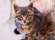 ¿Por qué los gatos no pueden ser lazarillos?
