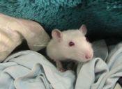 Día Internacional del Animal de Laboratorio: Los avances y deudas pendientes