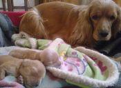 Inseminación canina: ¡En Chile ya es posible!