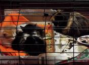 Historias de Mascotas: Mi cuy adoptó cuatro gatitos