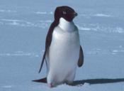 Pingüinos de la Antártida afectados con nuevo virus de gripe aviar