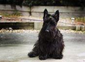 Un gran valiente en cuerpo pequeño: El Terrier Escocés