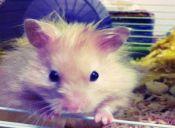 Hamsters, ¿Cómo cuidarlos?