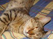 Tigres, chitas y gatos domésticos son más parecidos de lo que creías