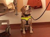 Perro holandés diagnostica enfermedades más rápido que los laboratorios