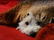¿Un perro puede resfriarse?