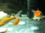 ¿Cómo cuido a mi pez dorado?