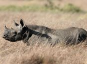El rinoceronte negro no está extinto