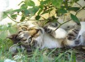 Los gatos maúllan distinto dependiendo de lo que quieren