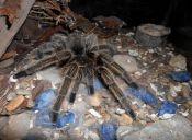 Arañas pollito: hermosas, peludas y solitarias