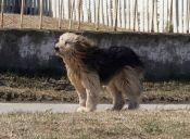 Ovejero Magallánico: Un can chileno e ¡impresionante!