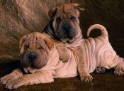 Cinco razas de perros arrugados