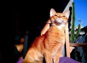 Perfiles: Gato Abisinio