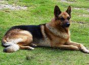 10 perros que son buenos vigilantes