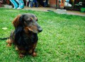 ¿Cómo saber si mi perro está viejito?