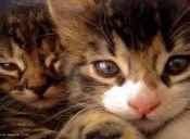 ¿Por qué no se debe dar carne cruda a los gatos?
