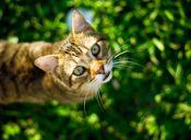 Taurina, el aminoácido vital para los gatos