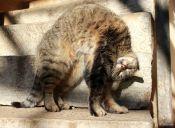 Nébeda, la droga para gatos