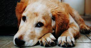 ¿Cómo saber si un perro es de raza?
