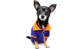 Chihuahua: introducción a la raza.