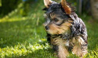 Cuidados especiales para Yorkshire Terrier