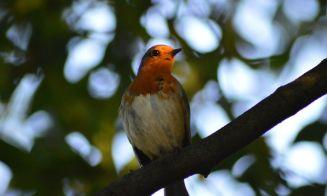 Todo sobre Pájaros cantores