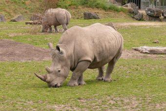 Último rinoceronte blanco macho, es cuidado con guardaespaldas