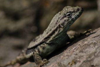 Dos nuevas especies de lagartijas fueron encontradas en la laguna del Laja