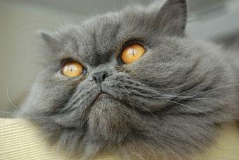 Conoce las razas de gatos más caros del mundo