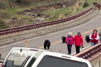 [Video] Osa asusta a turistas en Parque Yellowstone